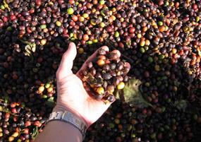 収穫されたコーヒーチェリー