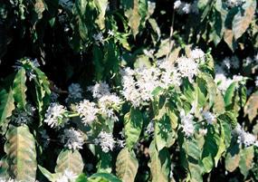 コーヒーの花(開花)
